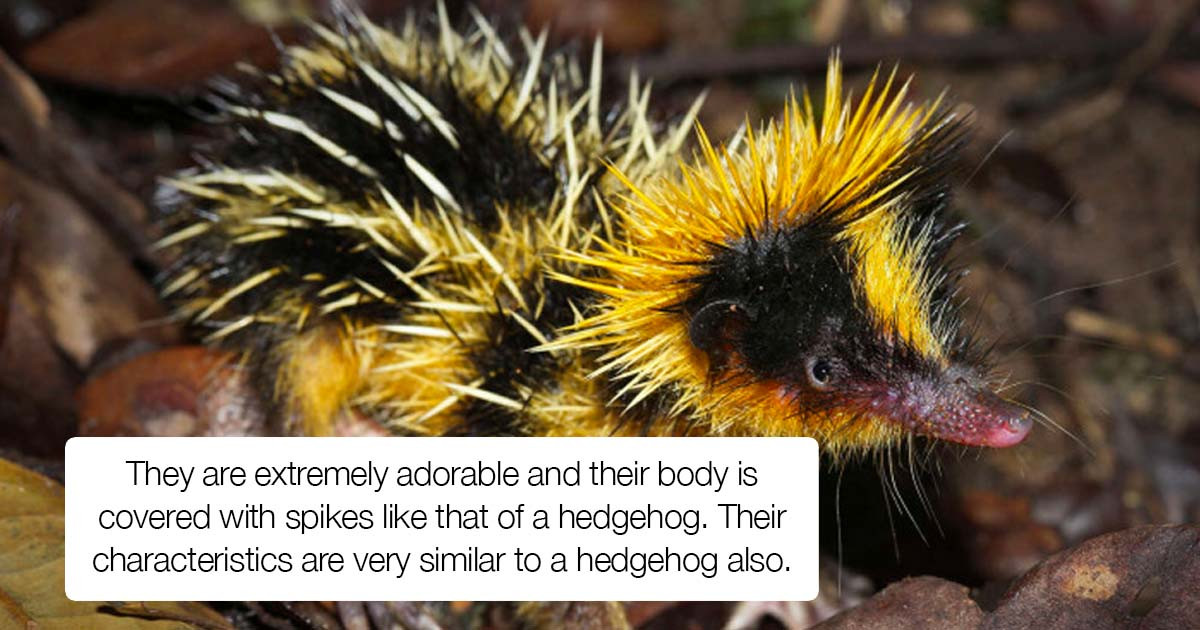Meet This New Creature That Looks Like A Cross Between A Hedgehog And A Bumblebee