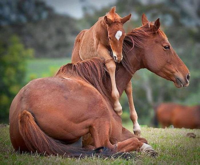 24. Baby horse playing with mama
