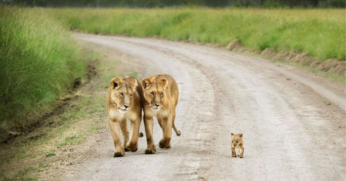37. A family of lions