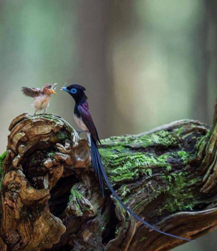13. Japanese Paradise Flycatcher feeding food to its baby