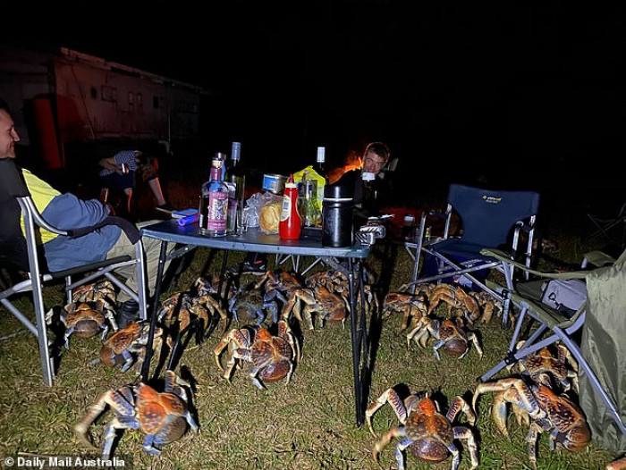 A camping trip barbeque became a struggle to keep 50 robber crabs away from food.