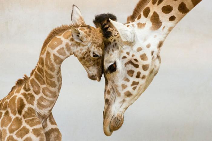 31. Baby and mama giraffe