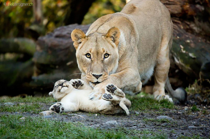 7. Baby lion playing with his mama