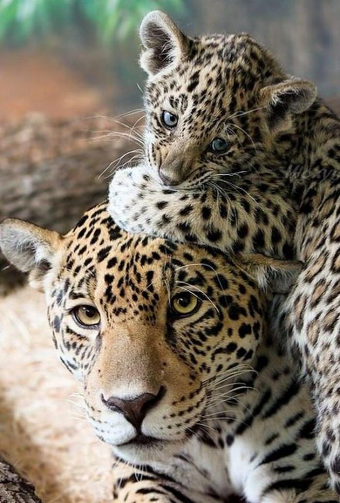 19. Baby and mama cheetah