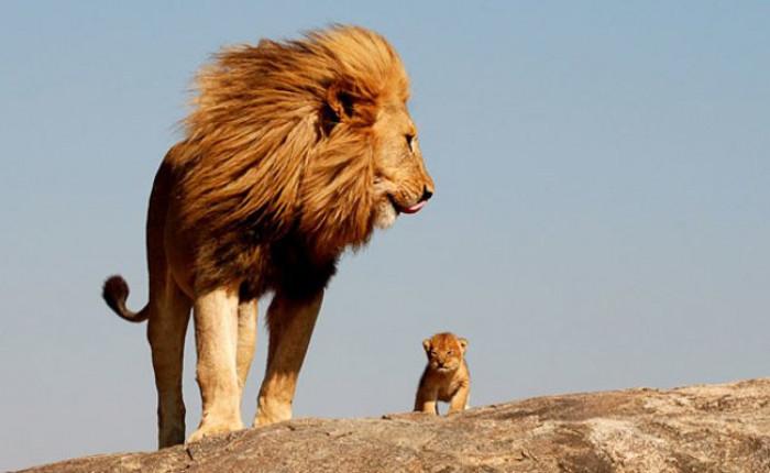 14. Lion showing his cub his kingdom
