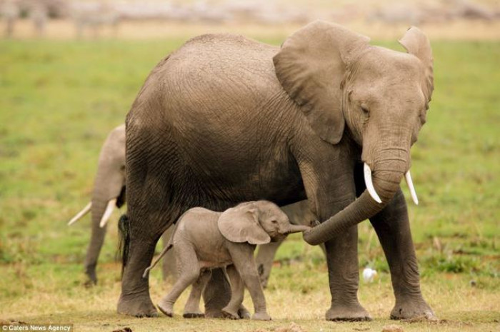 11. Baby and mama elephant out on a walk