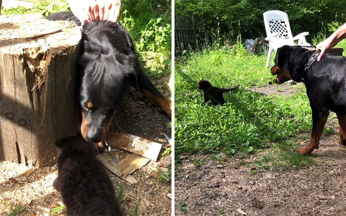 Luna meets her new family member, a Rottweiler named Venza