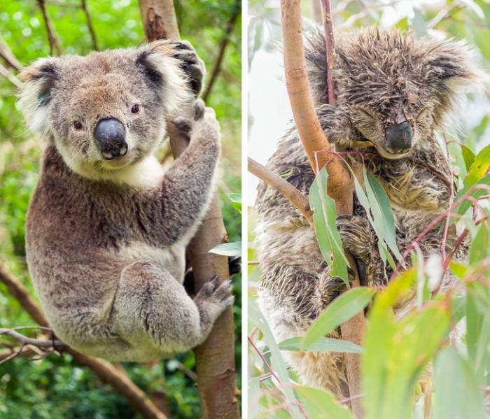 4. This koala has seen better days