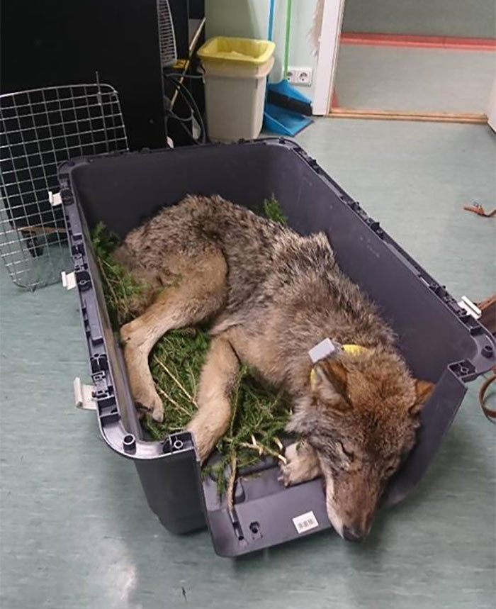"""The EUPA told the media, """"We are so happy for the outcome of the story, and wish to thank all the participants – especially these men who rescued the wolf and the doctors of the clinic who were not afraid to treat and nurture the wild animal."""""""