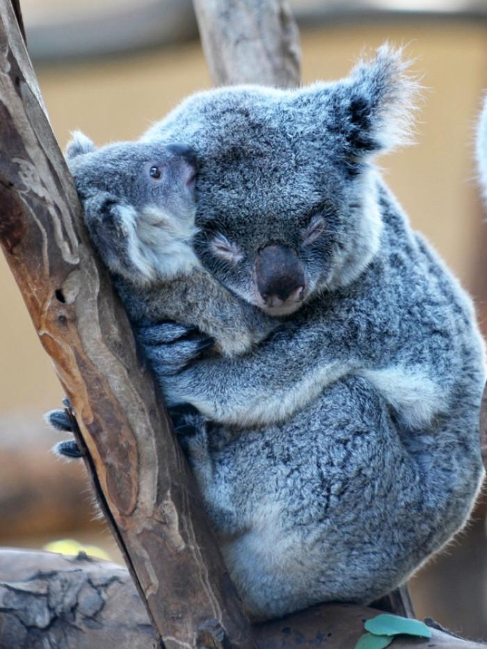 28. Mama koala bear hugging its baby