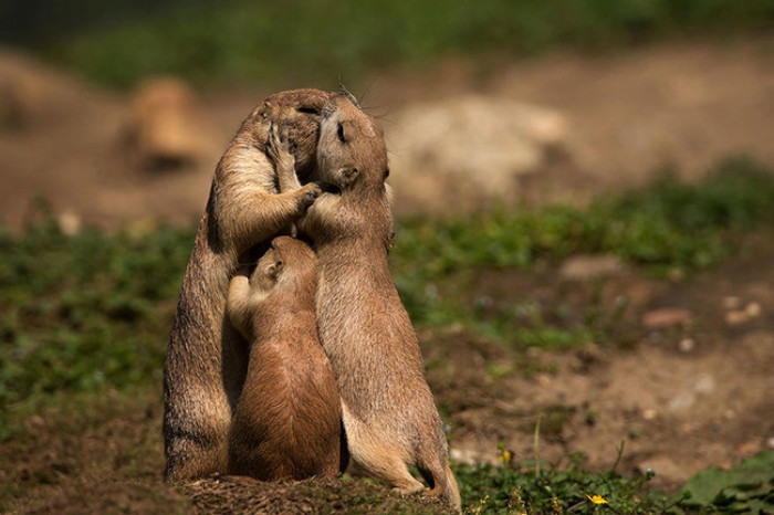 16. A family of prariehund