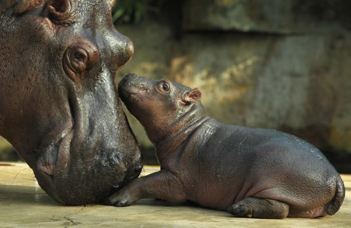20. Mama and baby hippo