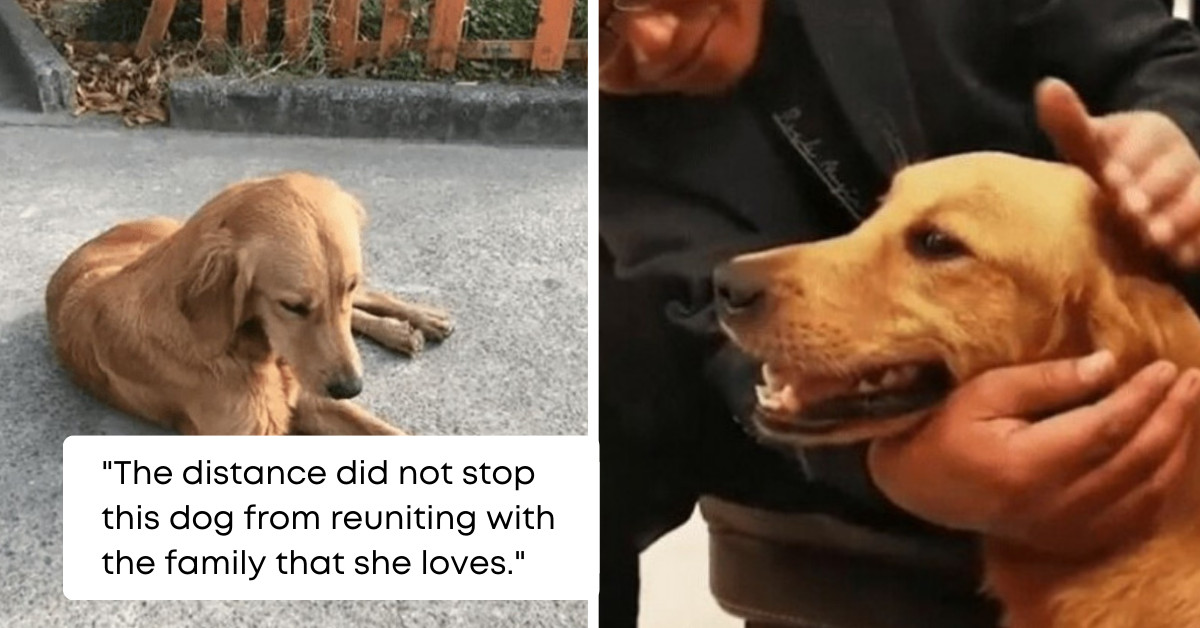 Golden Retriever, Who Temporarily Stayed With Her Family's Friend, Walked 62 Miles In A Span Of Two Weeks Just To Go Back Home