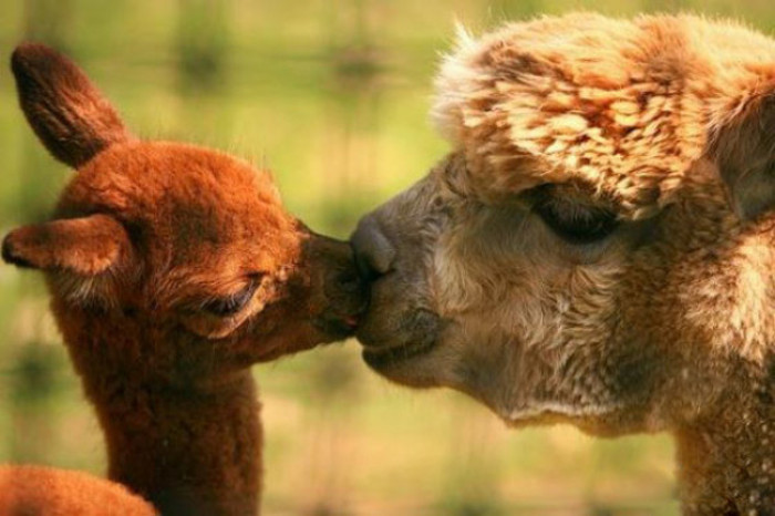 33. Baby Alpaca kissing its mama