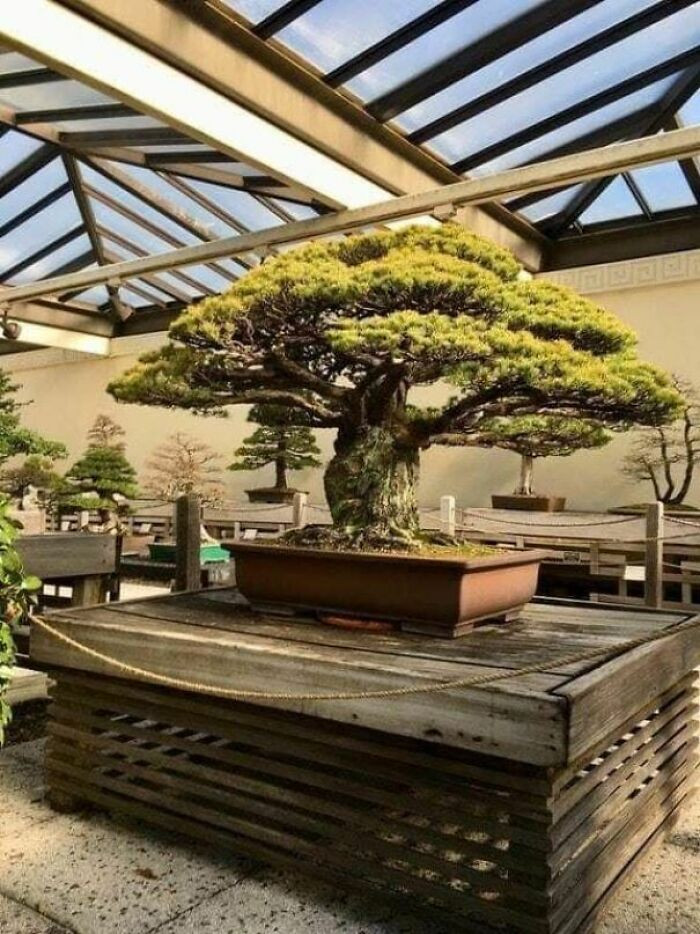 37. A 400 year-old Bonsai Tree that survived Hiroshima bomb