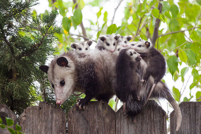 23. Baby possums playing with mama