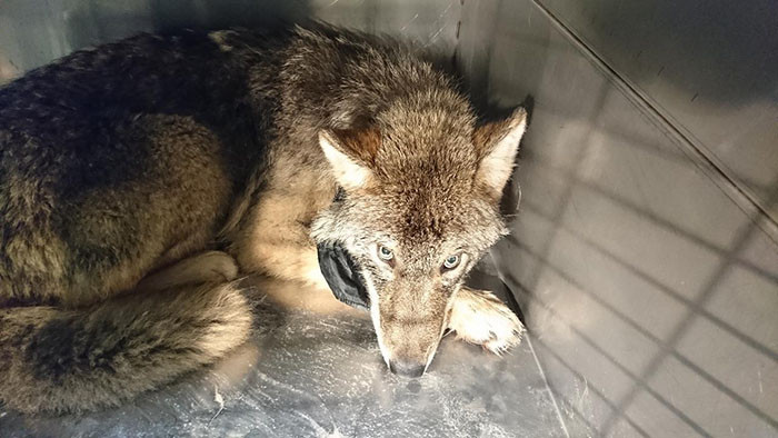 The wolf has since been nursed back to health and released back into the wild with a GPS collar around his neck.