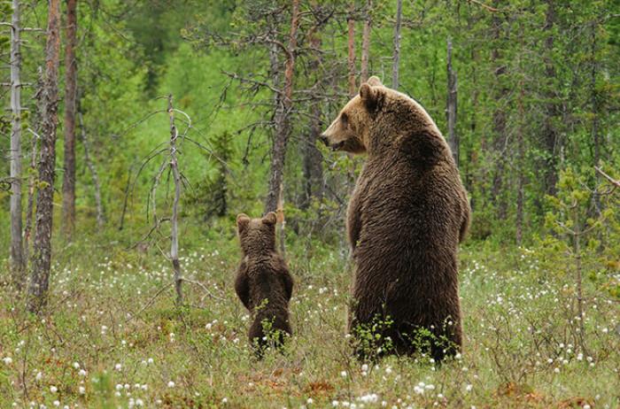 17. Papa and baby bear