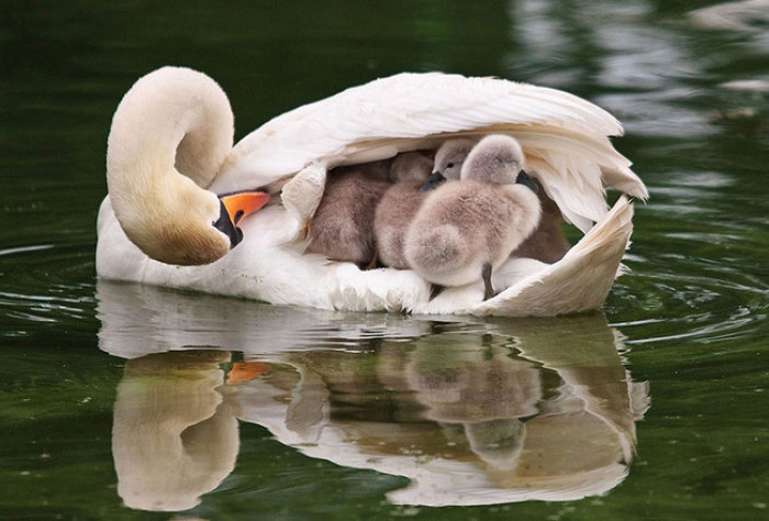9. Baby ducks sitting on mama