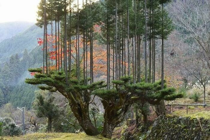 """13. """"Daisugi"""" is an ancient Japanese pruning method that allows lumber production without cutting down entire trees."""