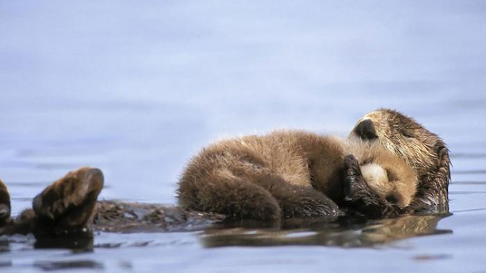 36. Baby otter sleeping on mama