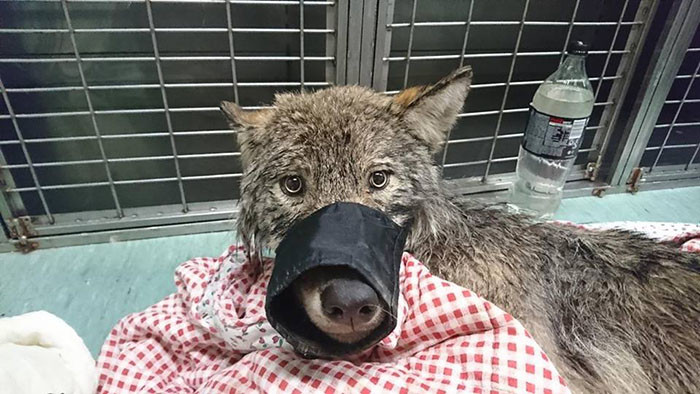 The specialists discovered the animal was suffering from low blood pressure, which could explain it's docile behavior.