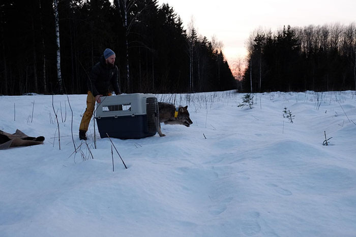 The Estonian Union for the Protection of Animals (EUPA) paid for all of the wolf's treatment.