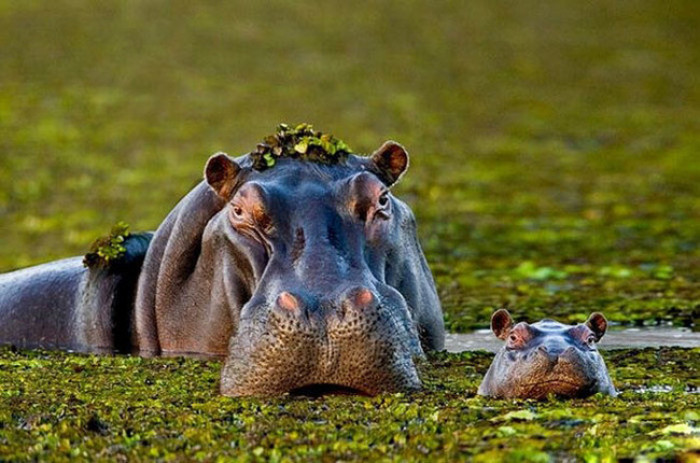 12. Mama and baby Hippo posing for a photo
