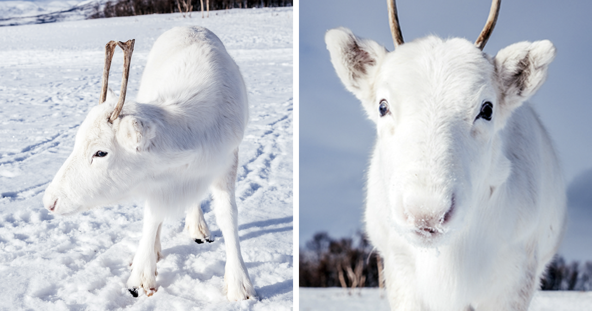 While Hiking In Norway, A Man Takes Photos Of Extremely Rare White Baby Reindeer