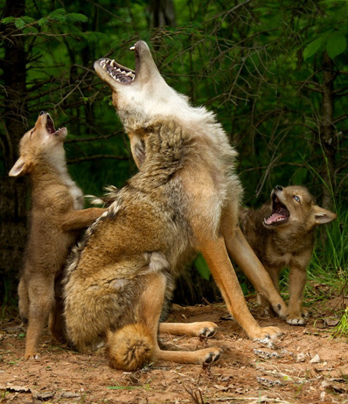 34. A family of wolves