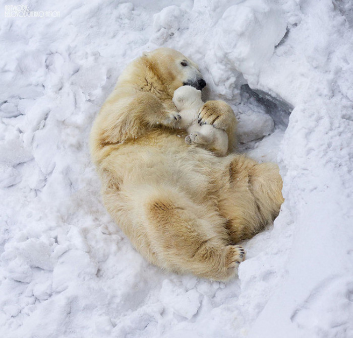 15. Baby polar bear sleeping in mama's arms